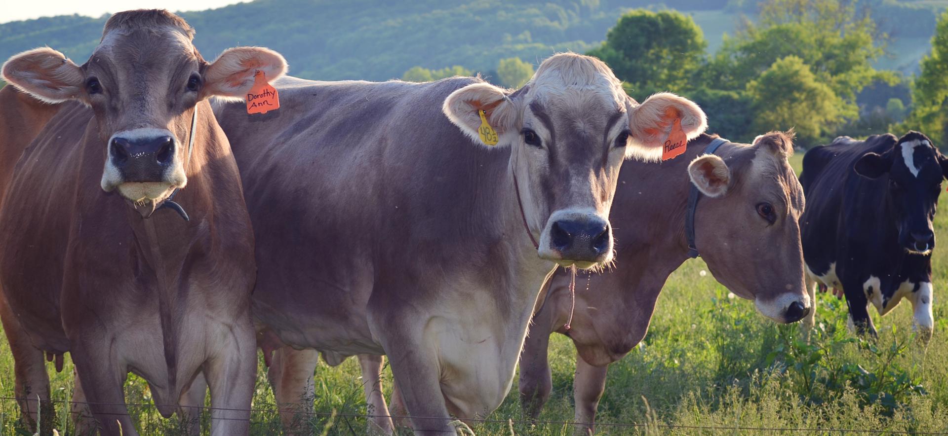 TV-HomePageSlider-Cows